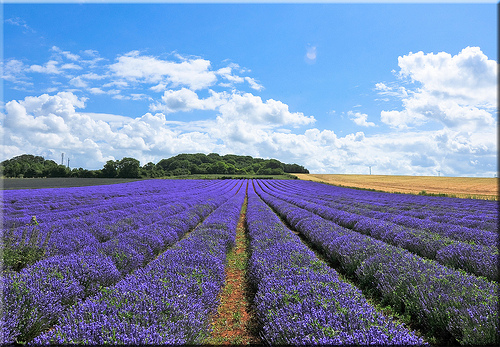 One of the many lavender fields in Norfolk.