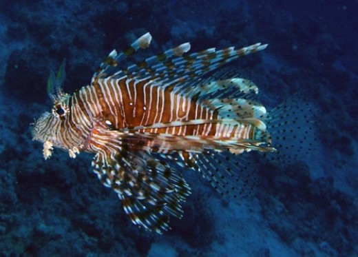 Title: Lionfish in the Red Sea ~ Attribution License: http://creativecommons.org/licenses/by/2.5/ ~Photographer: Zpyder: everystockphoto.com
