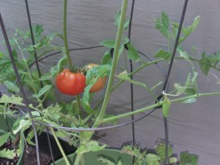 Tasty Tomatoes From The Container Garden