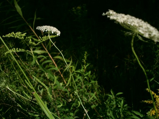 Queen Anne's Lace's three-forked bracts under the flower head help in identification.