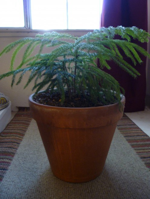 What are Indoor Plants? This one is a Norfolk Pine Tree.