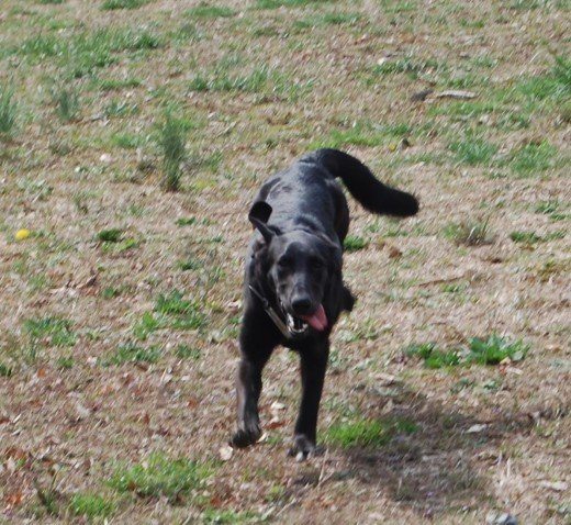 Shay; unwanted because she is black, a Lab/B&T Hound and VERY energetic. A looooong walk can only be to your benefit!