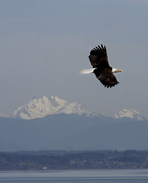 You are bound to see eagles while on Whidbey Island