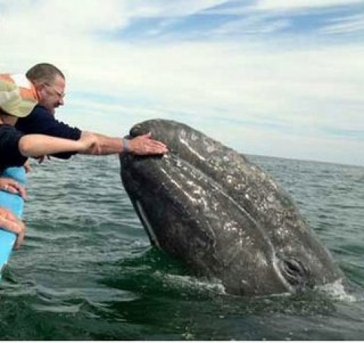 Gray whales often approach boats and seem to enjoy physical contact with humans or are simply curious
