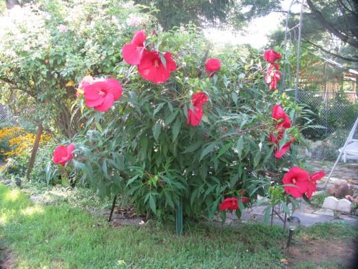 Garden grown hardy hibiscus bush