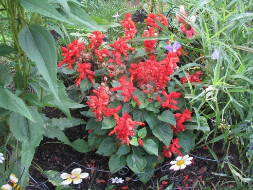 Red Salvia