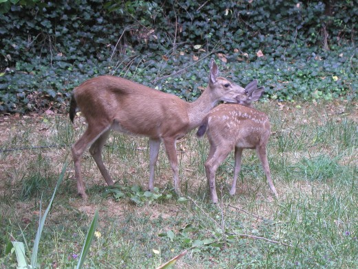 8/10/11  Doe and fawn  in my backyard