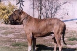 Indian Mastiff (from hundeguiden.no)