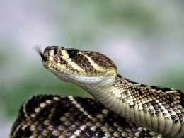 The Eastern Diamondback Rattlesnake Is A Very Dangerous Snake That Should Be Avoided.