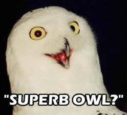 The Superb owl of the Hub Pages