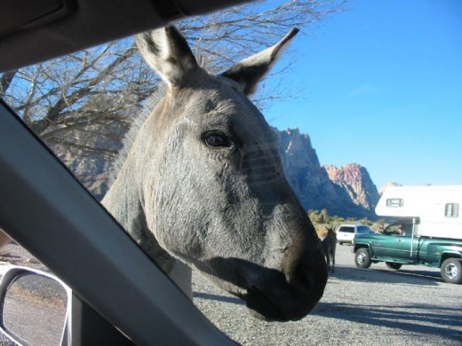 "Our visitor! These burro's are so friendly, they will ""look"" into your car to see if you have something for them to eat... do not feed them, but enjoy their visit."