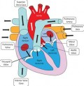 The heart is a complicated muscle which sometimes goes into an irregular heartbeat, or arrhythmia.