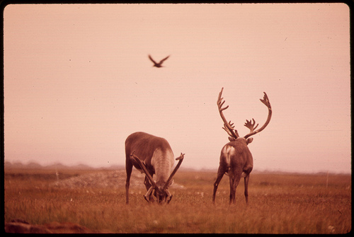 The Alaskan Raven and Two Caribou.