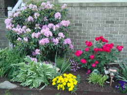 Hostas and Knock Out roses