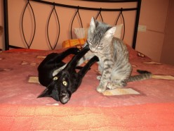 My two cats Kees and Loes playing around like toddlers can do.