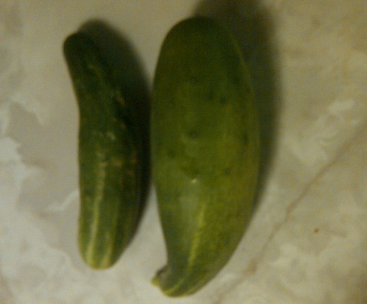 Cucumbers right out of my garden.