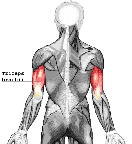 Triceps Muscles