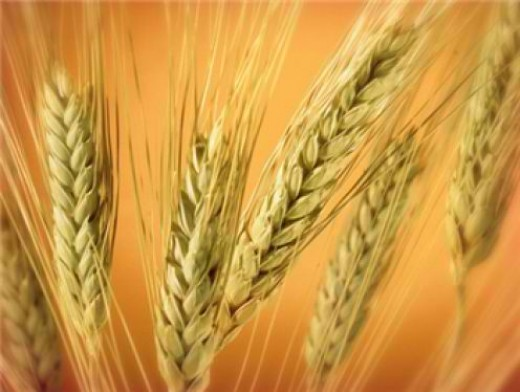 Introduce more grains with Wheat