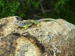 Handsome male Collared Lizard