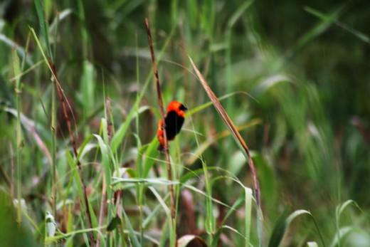 Red Biship, a wetland inhibitant.