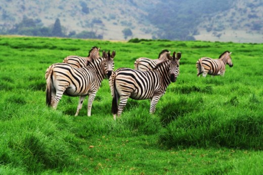Zebras enjoying the sweet grasses of a plain.