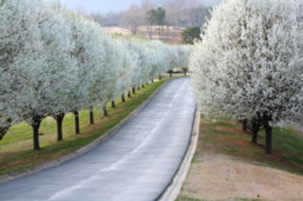Pear trees in bloom along a roadway, offers beauty and shade but wont become too large to handle!
