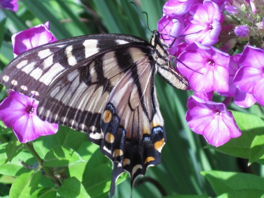 Tiger Swallowtail Butterfly (female)