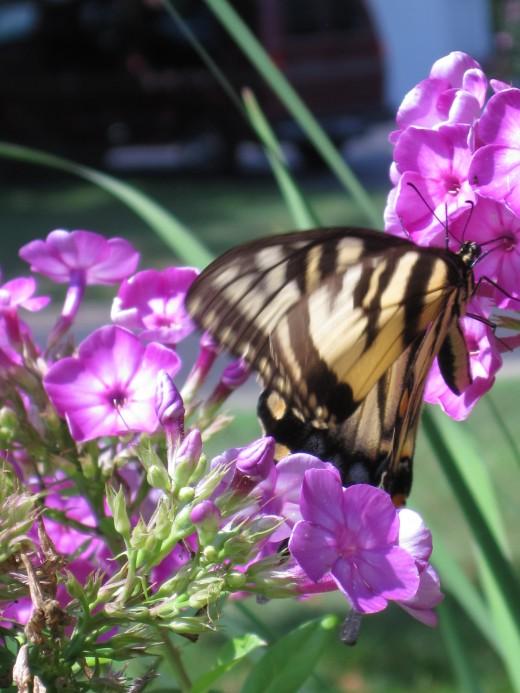 Tiger Swallowtail Butterfly & Pink Garden Phlox