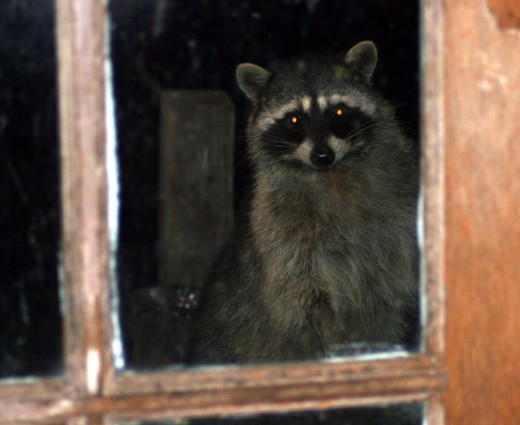 Rocky Raccoon - visitor
