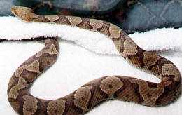 This is a Copperhead Snake. The good thing is that these snakes are usually non aggressive and it is rare for a death to occur from a Copperhead Snake.