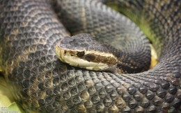 The Water Moccasin is an aquatic species of poisonous snake in the United States though the snake can be found on land and even in dry areas. It is usually an ill tempered snake that will strike if you get near it.