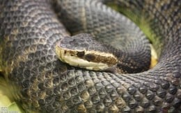 The Water Moccasin is a aquatic species of poisonous snake in the United States though the snake can be found on land and even in dry areas. It is usually a ill tempered snake that will strike if you get near it.
