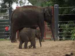 Baby elephant Mali with mother