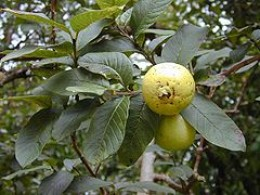 Guava on the tree.