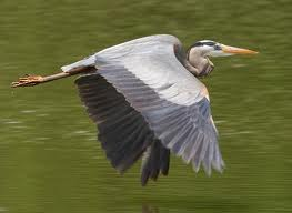 Harry The Heron