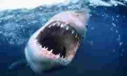 A Great White showing that deadly maw