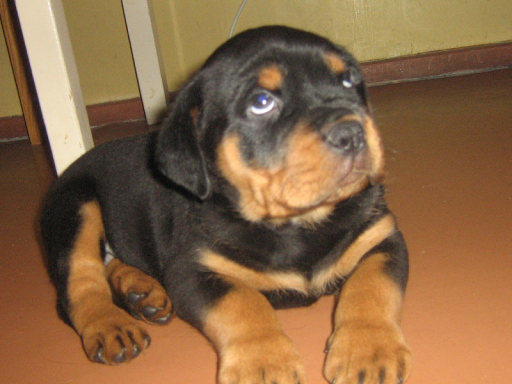 how to raise a well trained non aggressive rottweiler