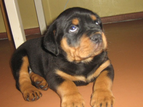 How To Raise A Well Trained Non Aggressive Rottweiler Pethelpful