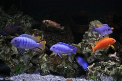 Lake Malawi Cichlids 2, Choosing the Tank/Aquarium - Size, Requirements and Location