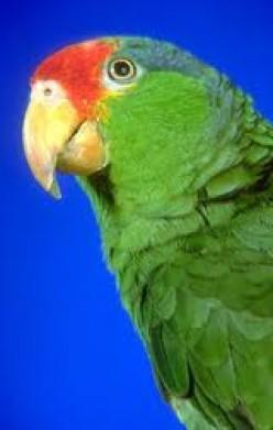 Beautiful Amazon Parrots