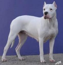 Dogo Canine