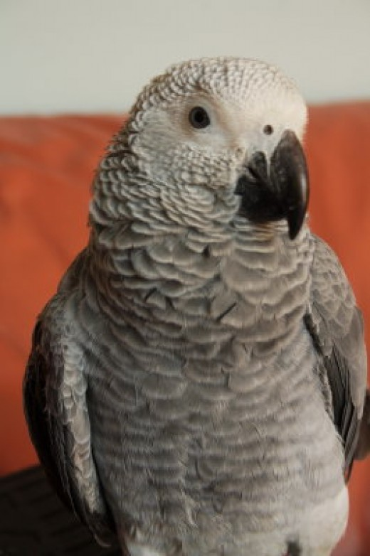 African Gray Porrot, only 6 months old!