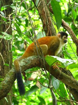 One of the many monkeys spotted in the Corcovado National Park
