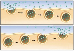 The top picture shows endocytosis. The bottom shows exocytosis.
