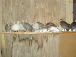 """4-week old guinea keets on their """"landing pad"""""""