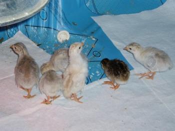 2-week old guinea keets