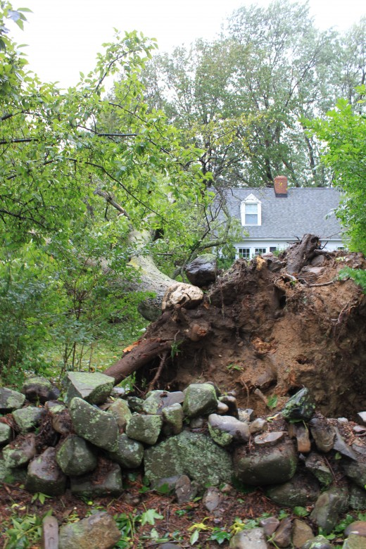 Tree that fell from Hurricane Irene, didn't distrub the rock wall! Milford, ct