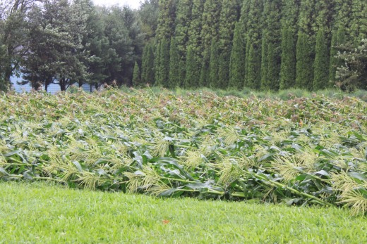 a whole corn field blown over in Milford, CT