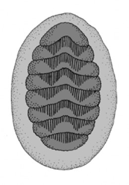 Dorsal side of a chiton (Polyplacophora). Light grey: girdle; dark grey: shell plates