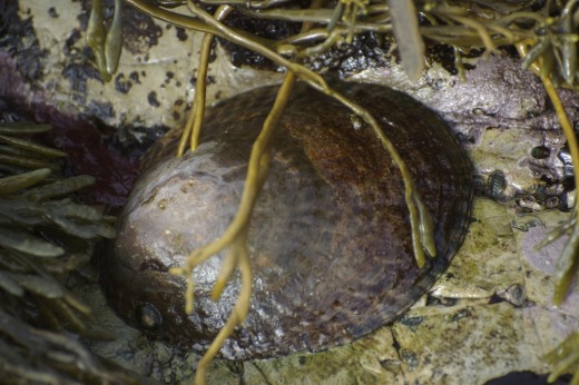 "Owl Limpet -  It is sometimes called ""Farmer John""."